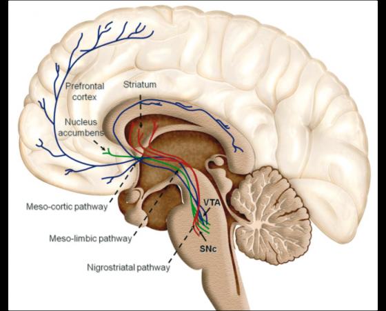 Structures impliquées dans le système de récompense du cerveau humain