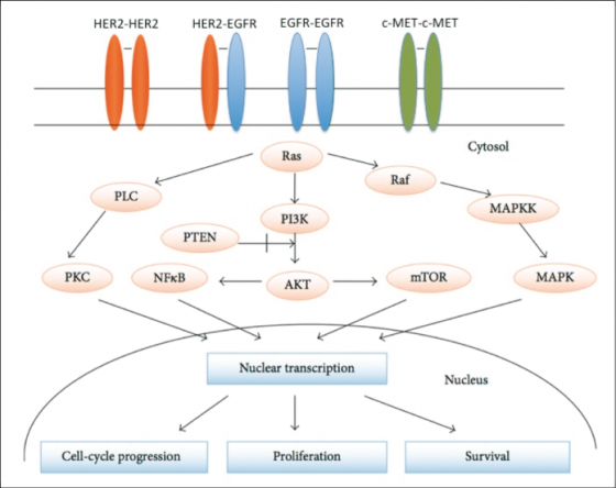 Récepteurs transmembranaires à activité tyrosine kinase (EGFR/HER2/c-MET) et voie de signalisation sous-jacente favorisant la croissance tumorale