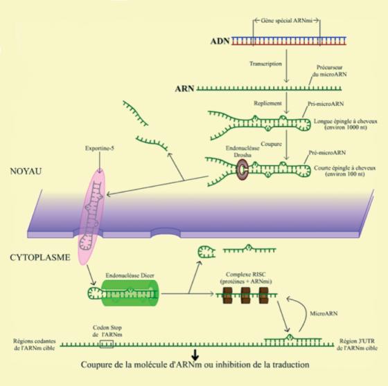 Synthèse et mode d'action des micro-ARN
