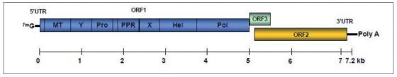 Figure 1. Organisation génomique du VHE
