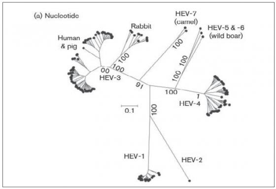Figure 2. Analyse phylogénétique des membres de l'espèce des Orthohepevirus A. D'après (Smith et al., 2014)
