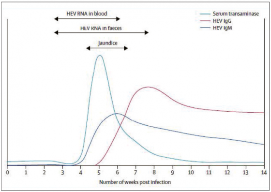 Figure 5. Cinétique des marqueurs virologiques lors de l'infection VHE ; d'après (Kamar et al., 2012a)