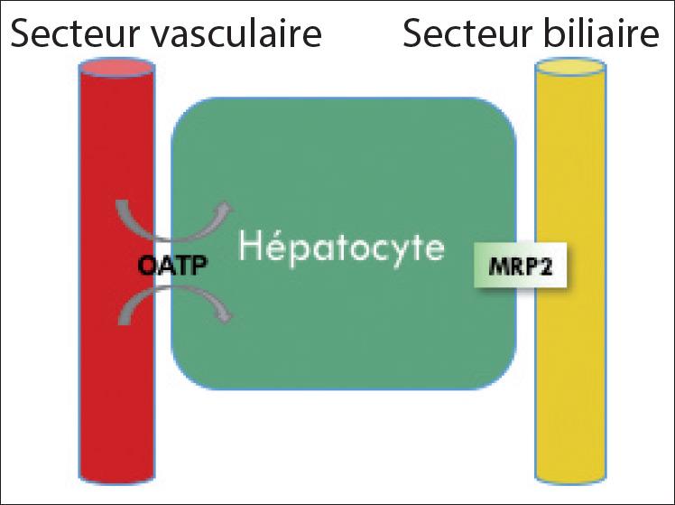 Figure 3. Représentation schématique de la distribution hépatocytaire des produits de contraste dits « hépatospécifiques ».