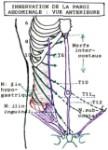 Figure 1. Innervation de la paroi abdominale : vue antérieure