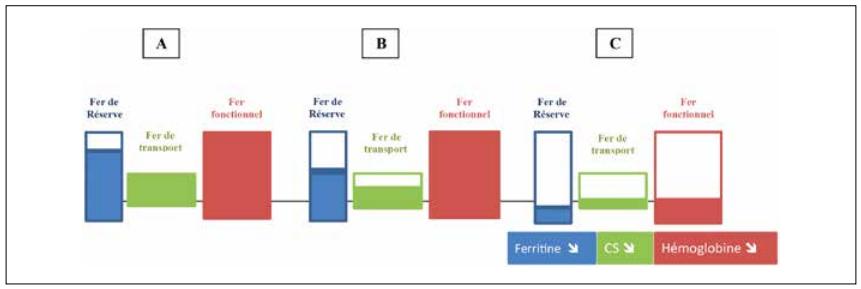 Carence martiale: baisse des réserves en fer A puis diminution du fer de transport B avec une biodispinobilité du fer insufisante pour assurer une érythropoïèse normale et en conséquence une diminution de l'hémoglobine C