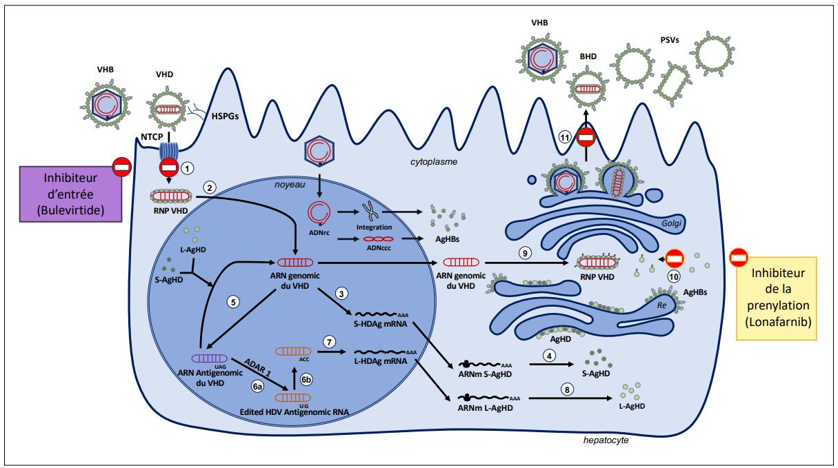 Cycle viral VHB VHD