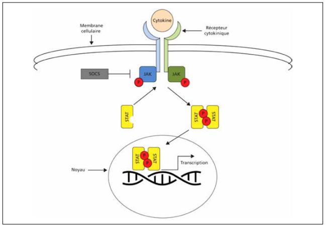 Mécanisme d'action de la voie JAK-STAT et activation des récepteurs de cytokines