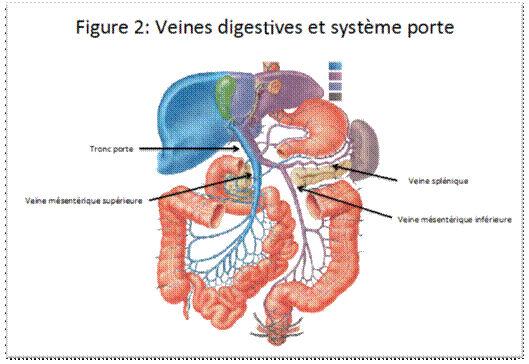 Anatomie de la vascularisation splanchnomésentérique
